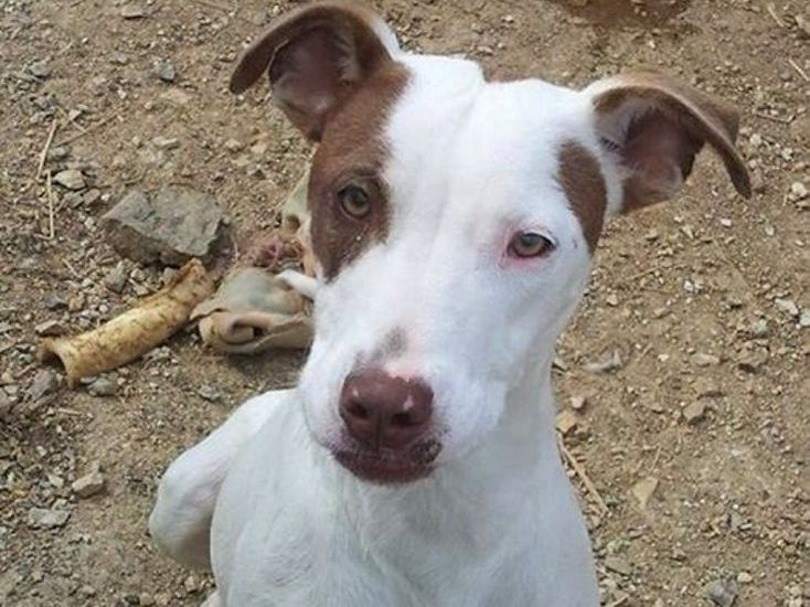 DOG OF THE WEEK: Sweet, affectionate Ali is looking for a family to grow up with. Ali is an 8 month old Bull Arab cross. This girl is extremely social and friendly. She is great on lead and loves hanging out with the kids. Still being a puppy, Ali has the world at her feet. With the right family to love and teach her all the good in the world she will grow up to be the most amazing, loyal companion you could ask for. Photo Contributed
