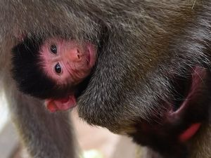 What's in a name? Lola 'just right' for Zoo's baby baboon