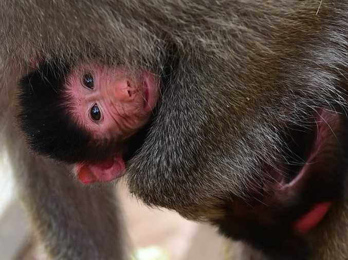 Baboon mum Genie at Queensland Zoo with her newborn. Photo: Iain Curry / Sunshine Coast Daily