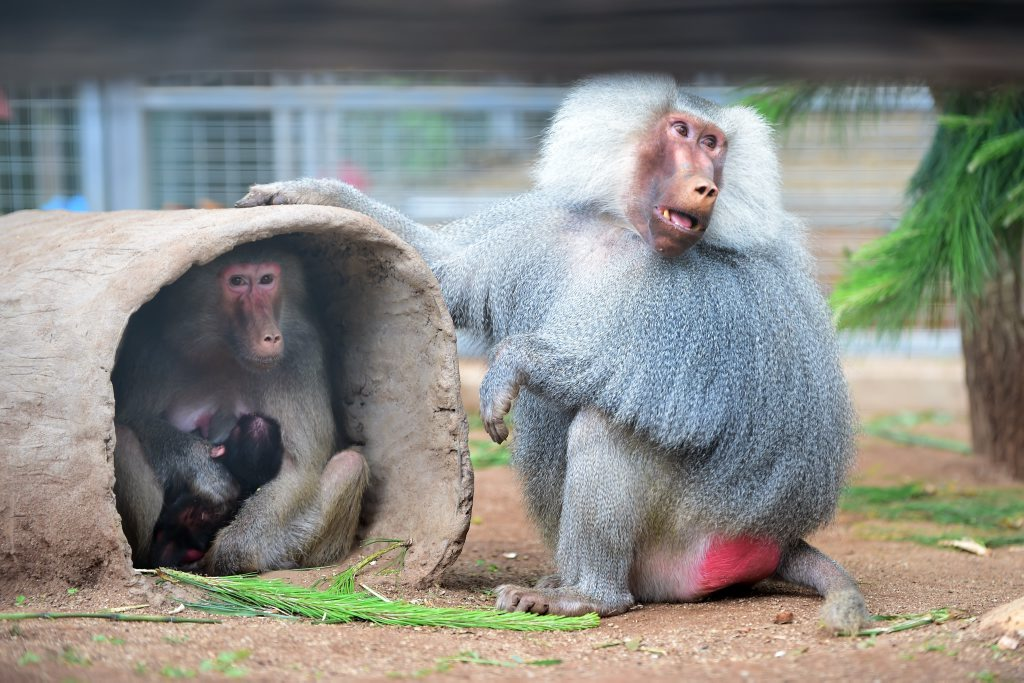 Did you know Queensland Zoo has more than 200 animals including a family of baboons?