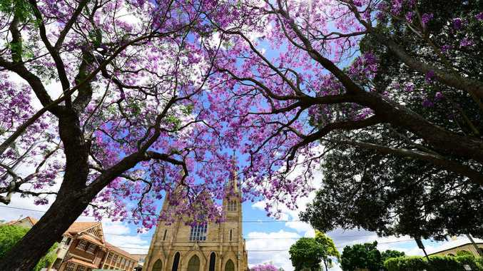 Jacaranda trees are bursting into colour throughout the district.
