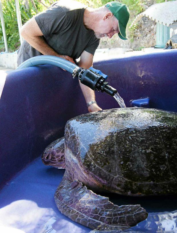 CONCERNED: Quoin Island Turtle Rehabilitation Centre owner Bob McCosker washes Delly, the 140kg green turtle. INSET: Bob McCosker.