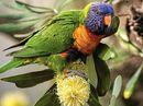 THE rainbow lorikeet is not a subtle bird.