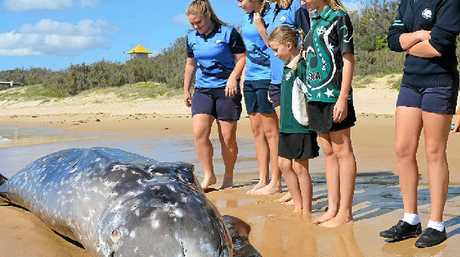 BEACHED: School children and beach walkers investigate the whale carcass on Wurtulla beach. PHOTOS: MEGAN MACKANDER & WARREN LYNAM