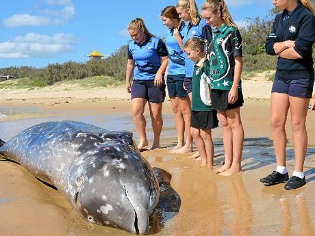 BEACHED: School children and beach walkers investigate the whale carcass on Wurtulla beach. PHOTOS: MEGAN MACKANDER & WARREN LYNAM