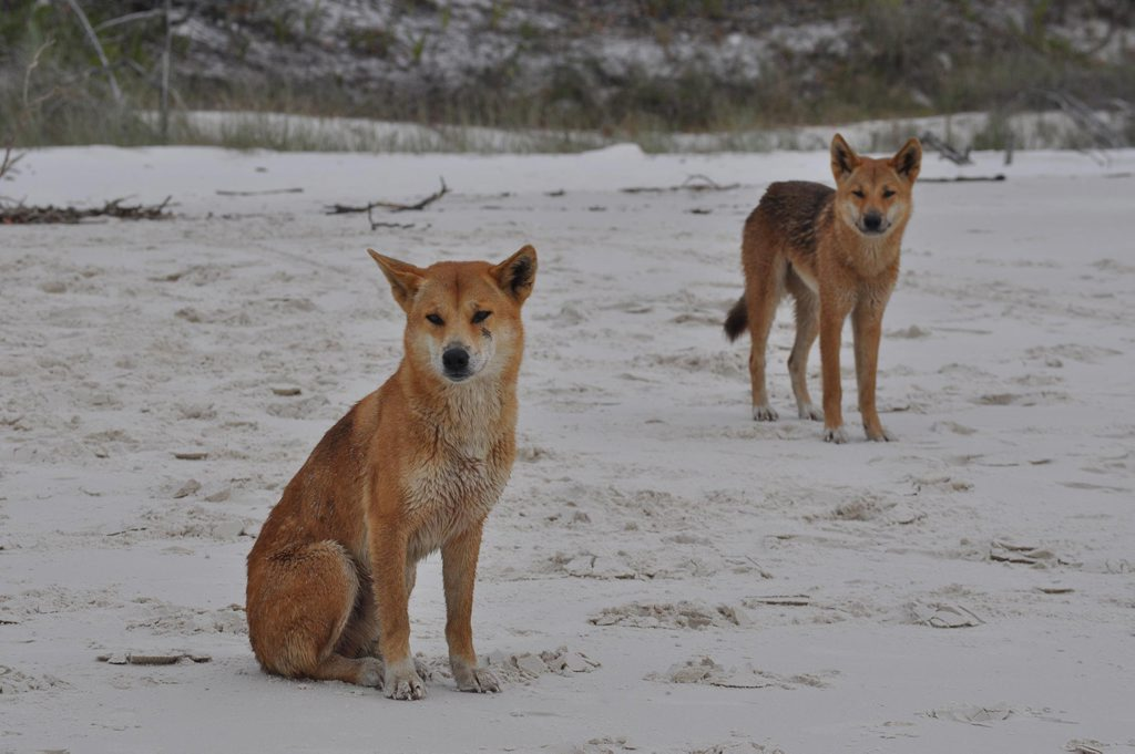 A dingo has been destroyed on Fraser Island after it displayed aggressive behaviour.