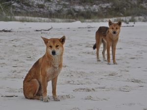 Dingoes escape death after attacks