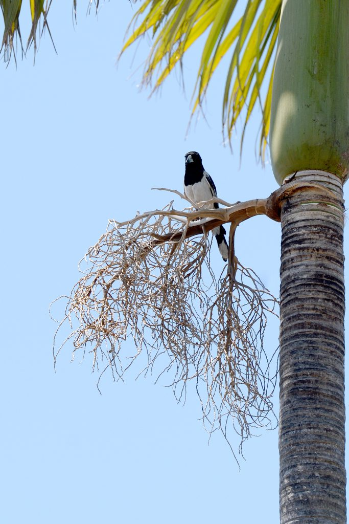 Dodie Allen from Silkstone feels like a prisoner in her own home since a butcher bird started targetting her and swooping her everytime she leaves her house with her walker. Pic of the butcher bird waiting in its vantage point. Photo: Kate Czerny / The Queensland Times
