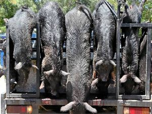 Pig hunt success despite the squeals of opposition