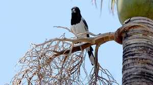 THE CULPRIT: The bird targeting Dodie Allen is being relocated.