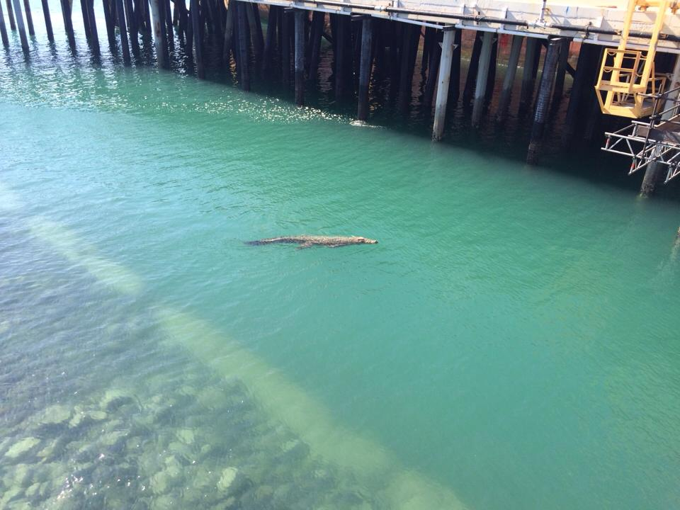 Crocodile spotted at the Mackay Harbour.