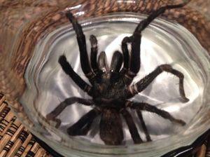 The funnel web spider found in Ava Killick's bedroom.