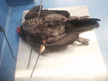 A bush turkey shot with arrows, delivered to the RSPCA for treatment