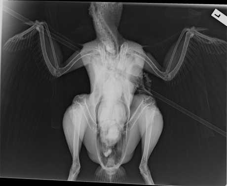 The xray of a turkey delivered to the RSPCA after being shot with an arrow