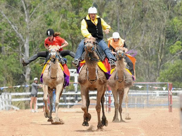 AT A CANTER: The ever-popular camel races will highlight today's Melbourne Cup celebrations at the Gympie Turf Club.