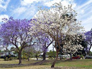 Rare jacaranda blooms
