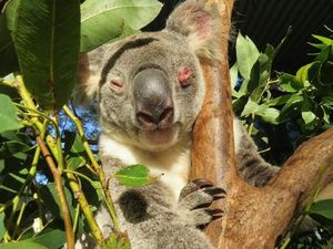 No consultation before koala park plan, say loggers
