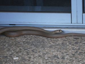 Brown snake spotted on Dalby's main street