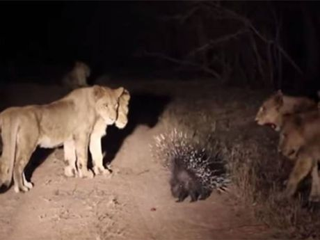 A porcupine used his quills to fend off 17 lions.