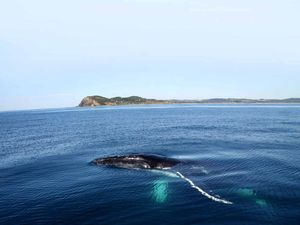Japan cull threatens humpback recovery, researchers say