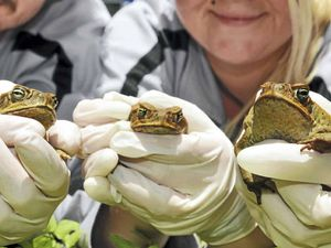 Toadbusters ready for war as threat increases