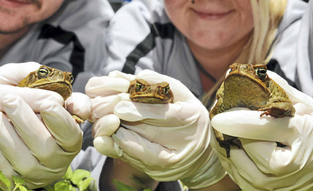 ENEMY LINES: Conservation Volunteers Australia is calling on the public to get on board with the start of the Toadbusters season on Tuesday.