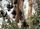 Flying foxes swoop back on council's agenda
