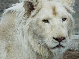 Kwanza the white lion just can't wait to be king