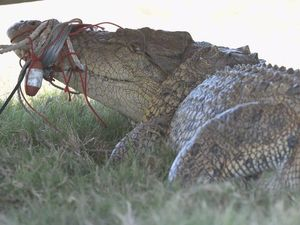 Croc following fisherman, stealing barra from net