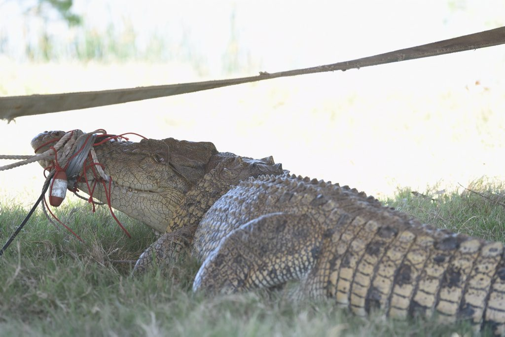 A 3.8m crocodile caught in the Mary River at the Mungar reach.