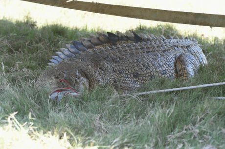 A 3.8m crocodile that was caught by wildlife officers in 2014 at Mungar near Grahams Creek.