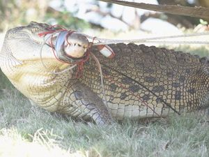 Hunt still on for smaller crocodile in Mary River