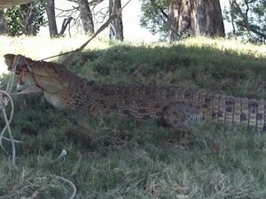 VIDEO: Rangers harpoon 3.8m croc in Mary River
