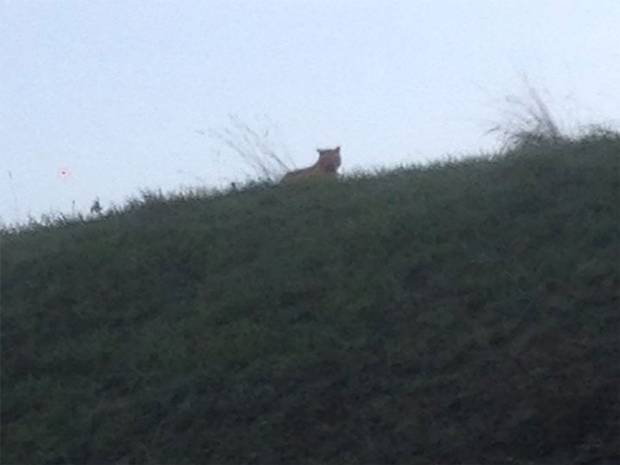 A picture of a 'young tiger'  was posted on a Facebook community page for the town of Montevrain in the Seine-et-Marne department, east of Paris.