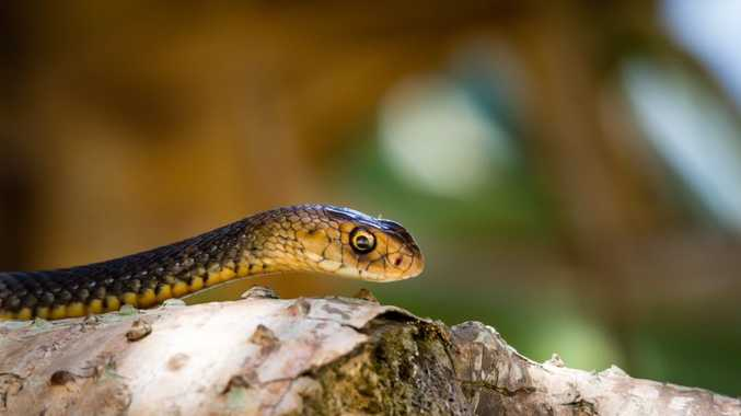 An eastern brown snake looked Sunshine Coast amateur photographer Peter Evans right in the eye. Photo: Peter Evans