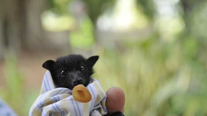 Large numbers of flying foxes were found dead in Casino after three scorching hot days. WIRES took to the streets to care for the orphaned baby bats.