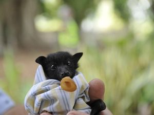 Flying fox pups injured in Casino heat wave returned to wild