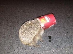 Kiwi cops save hedgehog from death by McFlurry