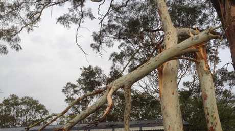 Fallen tree at Redbank Plains