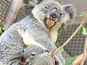 """""""Irresponsible"""" highway upgrade puts koala at risk: Labor"""