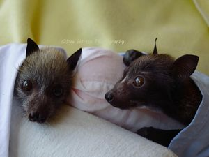 Baby flying foxes in care