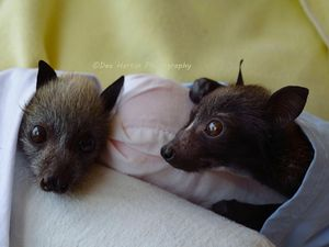 Cute photos of baby flying foxes in care after heat wave