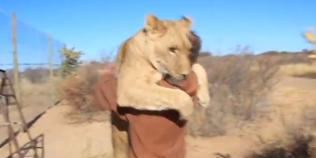 Sirga the lioness embraces conservationist Valentin Gruener. Photo / Still from YouTube video