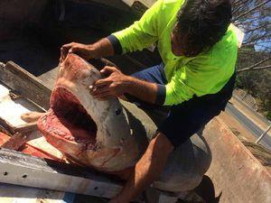 Walker finds tiger shark on Yeppoon beach