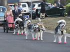 Sleigh dogs looking pretty in pink formal shoes provide Jakeb Smith and Hildegard Tack with a unique entrance.