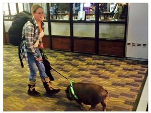 Pigs can't fly: Porcine passenger escorted off US flight