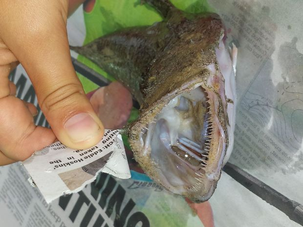 Rare Angler Fish washes up at Mooloolaba
