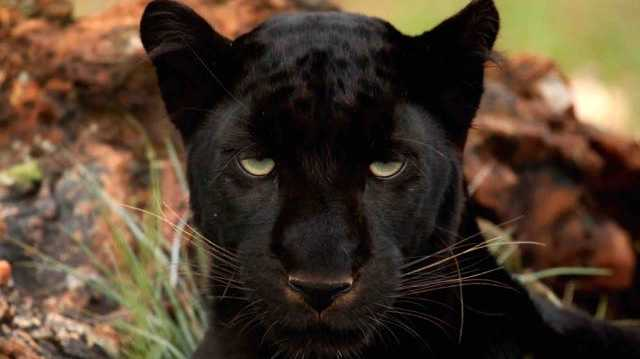 A black panther.  Photo: Rute Martins of Leoa's Photography (www.leoa.co.za) via Wikimedia Commons