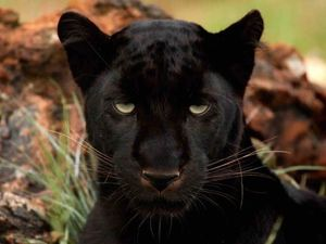 Farmer says he's spotted black panther twice