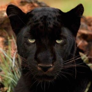 Farmer Says He S Spotted Black Panther Twice Sunshine Coast Daily